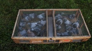racing pigeons in traveling crate